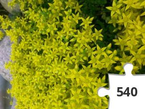 Jigsaw puzzle - Yellow stonecrop
