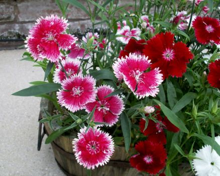 Dianthus from Cyprus Avenue II