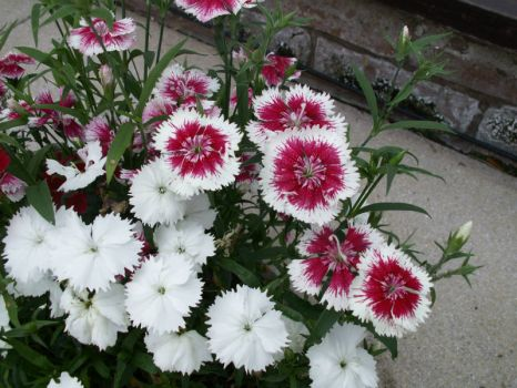 Dianthus from Cyprus Avenue III