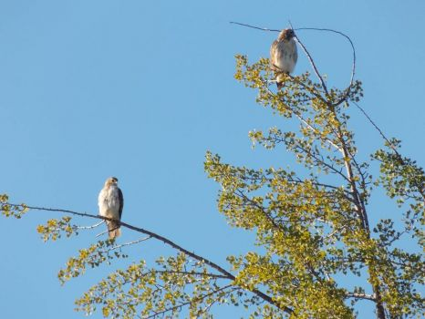 Red Tailed Hawks in Hamilton