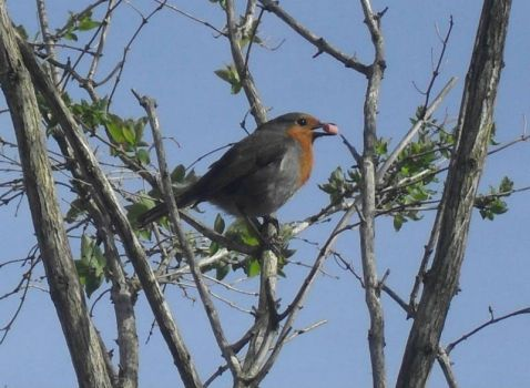 The Robin from Cyprus Avenue