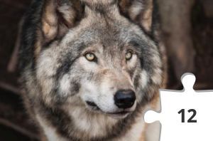 Jigsaw puzzle - Wolf by Steve