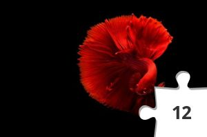 Jigsaw puzzle - Red Beta Fish by Chevanon Photography
