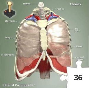 Jigsaw puzzle - The Thorax