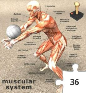 Jigsaw puzzle - Muscular System